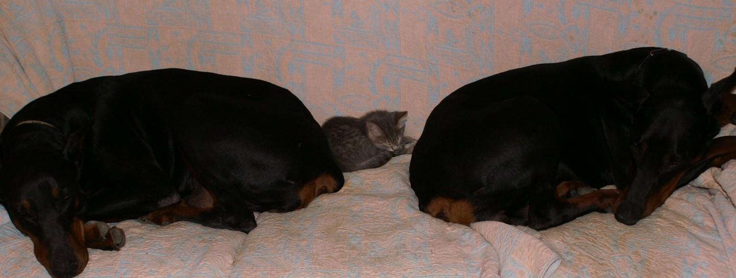 dobermanns et chaton