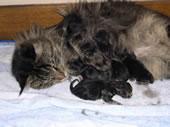 mère qui déplace ses chatons