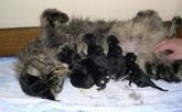 chaleurs chat, gestation chat