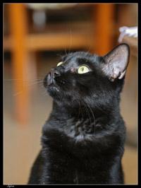 chat griffade, chat griffures, chat qui fait ses griffes