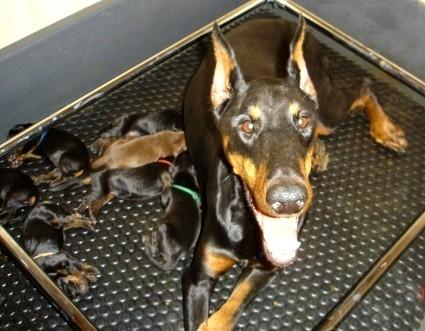 chienne et ses chiots, âge sevrage