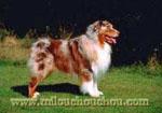 problème chien berger australien