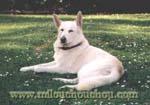 problème comportement chien berger blanc, berger blanc peureux, berger blanc craintif