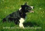 problème comportement chien border collie