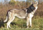 problème comportement chien loup tchecoslovaque