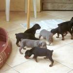 choisir chiots en élevage se faire aider par un comportementaliste chien