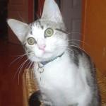 chat de gouttière, chaton âge sevrage, chat trouvé, chat perdu