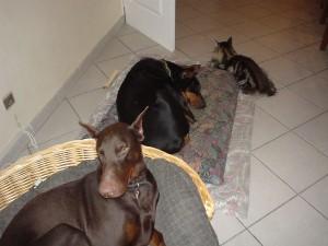 cohabitation entre chien adulte et chaton