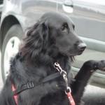 Flat Coat chien visiteur en maison de retraite, chien zoothérapie
