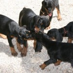 chiots éducation canine, cours collectif