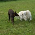 chien mauvaise communication canine, mauvaise sociabilisation