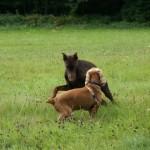 bagarres entre chiens adultes