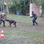 morsures chiens