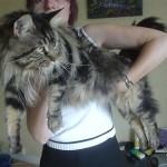 maine coon comportementaliste chat sandrine otsmane