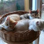 portée de chatons pour la zoothérapie