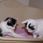 chaton turbulent, chaton hyperactif