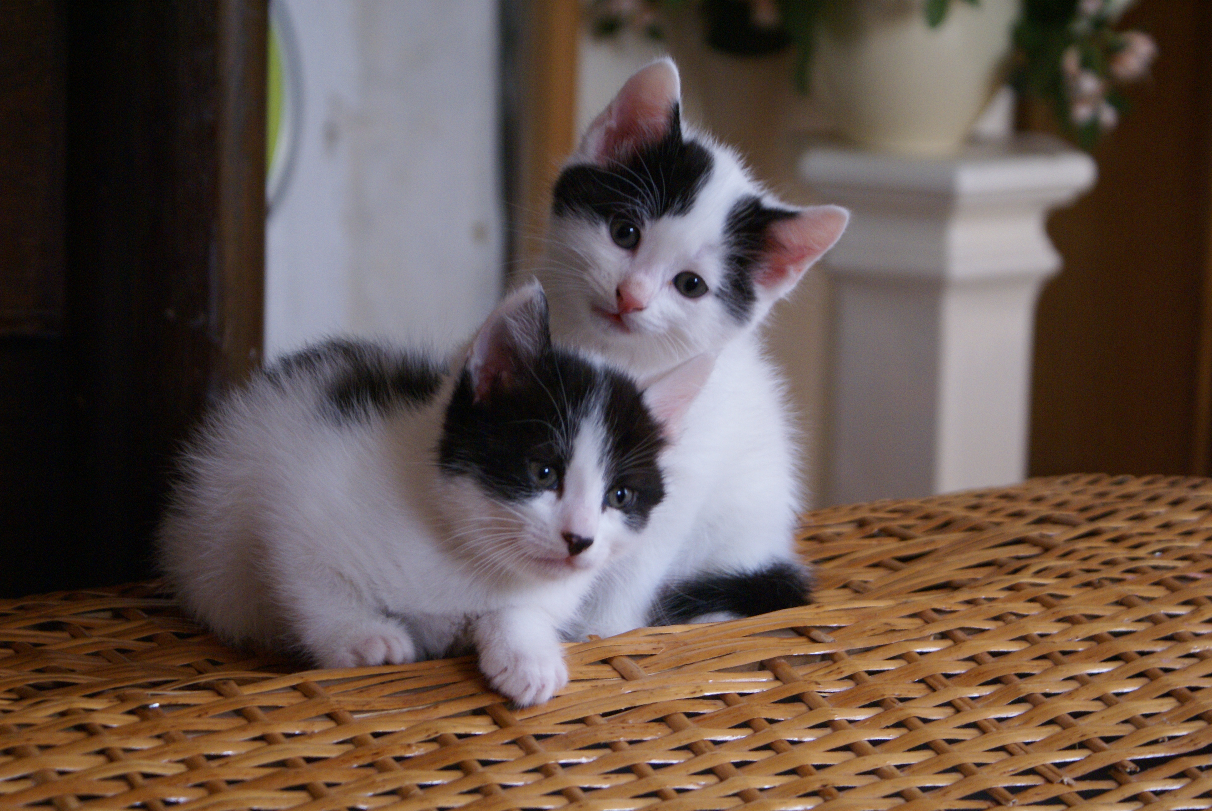les 15 premiers jours du chaton la maison comportementaliste chat 75 77 78 91 92 93 94. Black Bedroom Furniture Sets. Home Design Ideas