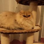 Chat persan peureux avec les gens