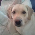 chienne labrador adoptée rééducation comportementale sandrine otsmane comportementaliste
