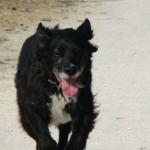 chien adopté adulte en refuge problème de rappel